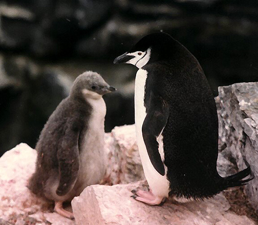 Penguin Picture - Baby Penguin