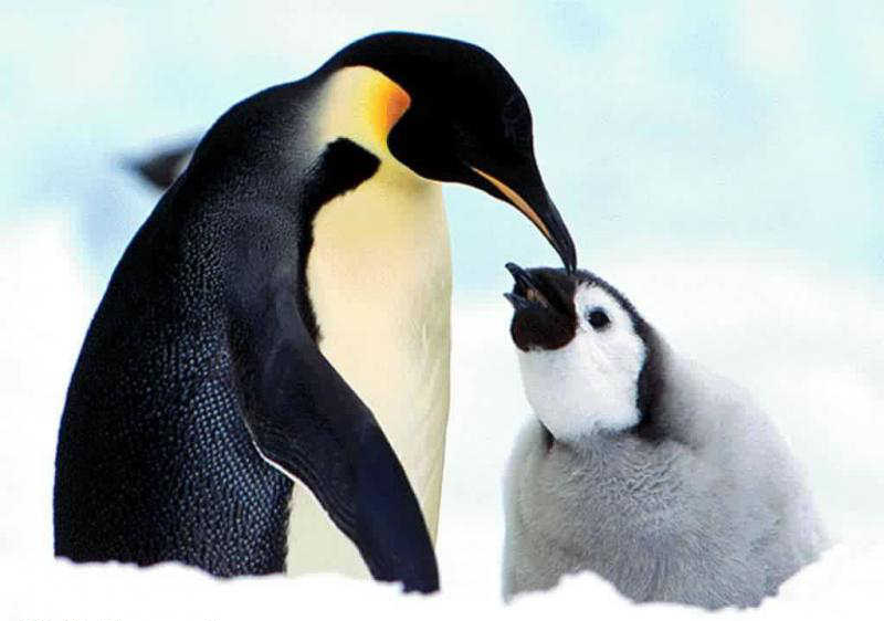 Penguin Picture - Cute young penguin with mother