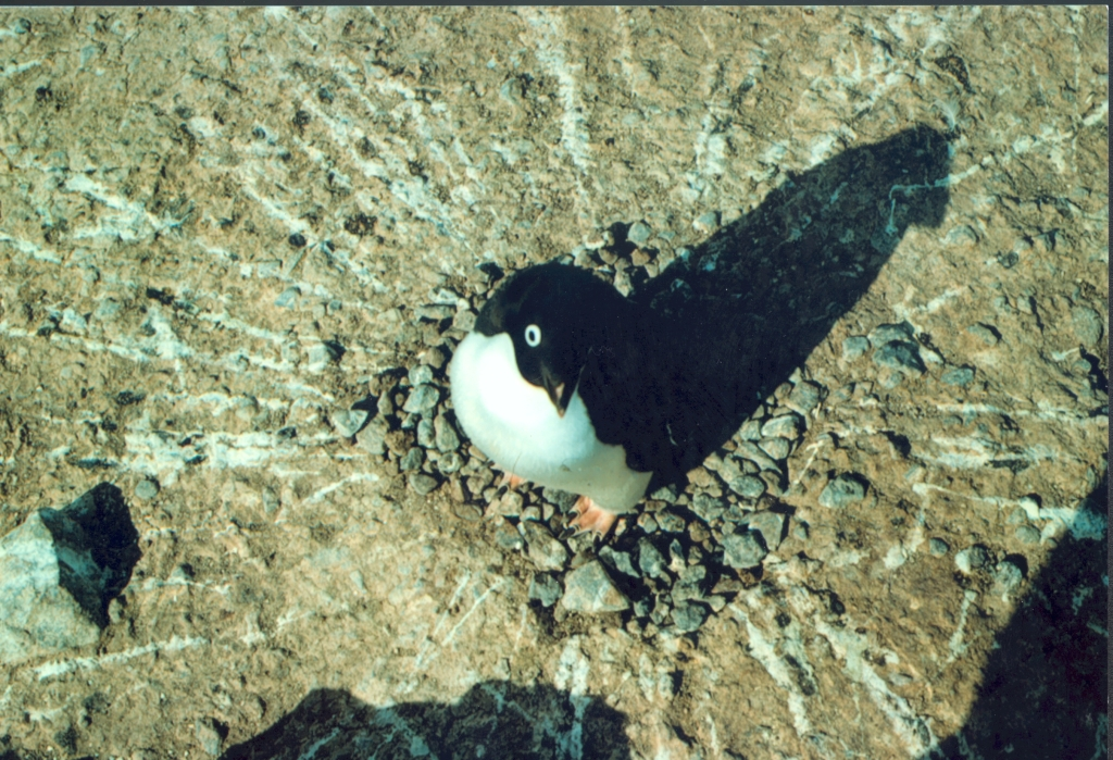 Penguin Picture - Penguin from above