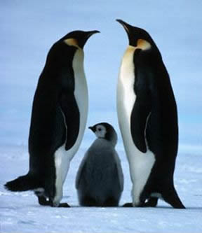 Penguin Picture - Penguin Family