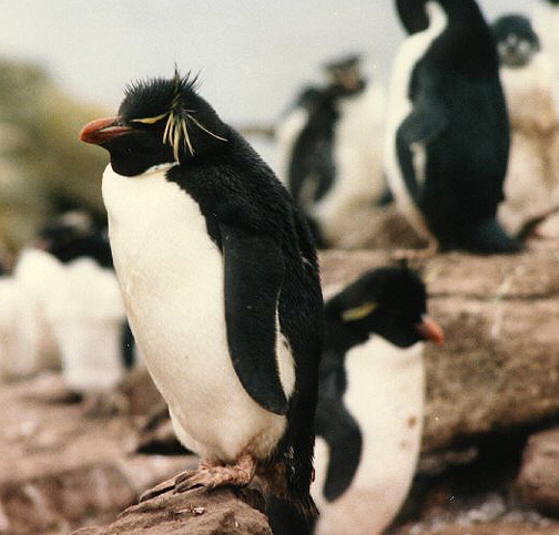Penguin Picture - Rockhopper Penguins